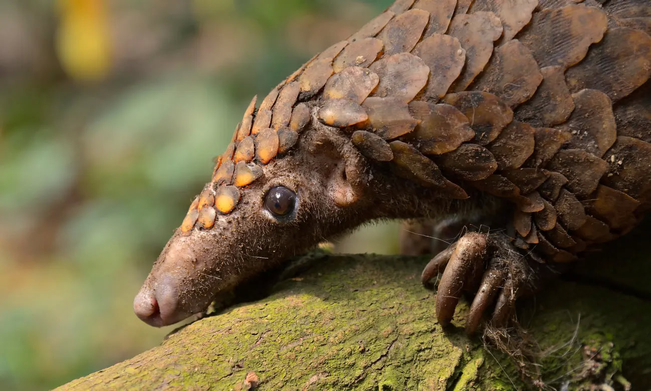 Covid-19 – a blessing for pangolins? (Observer)